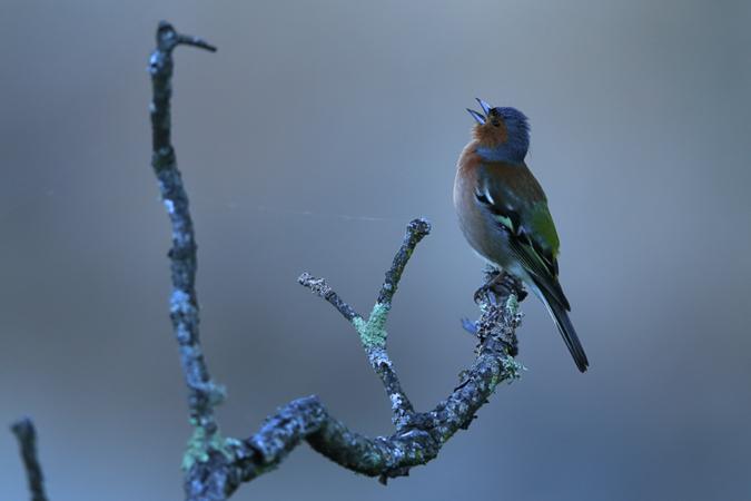 Luthi_Jean-Paul_Pinson_des_arbres_Estramadur_Espagne